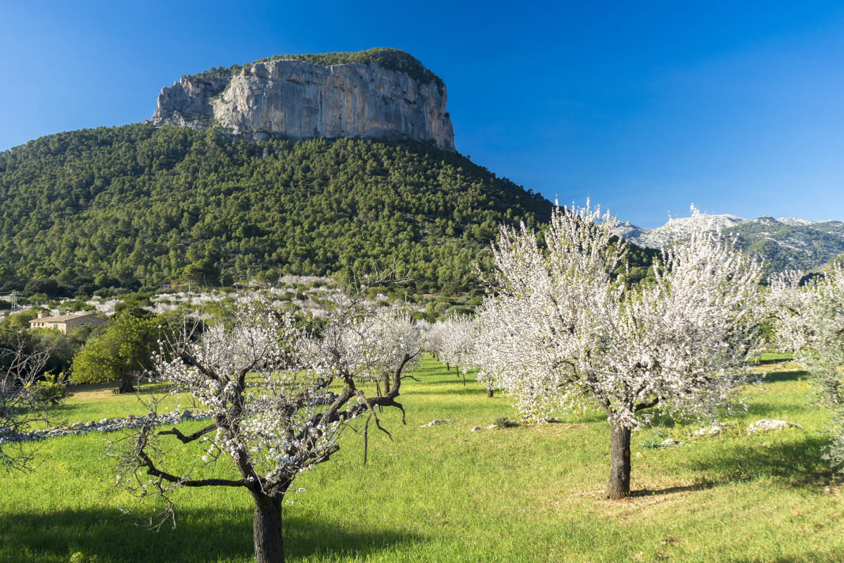 Mandelblüte bei Alaró