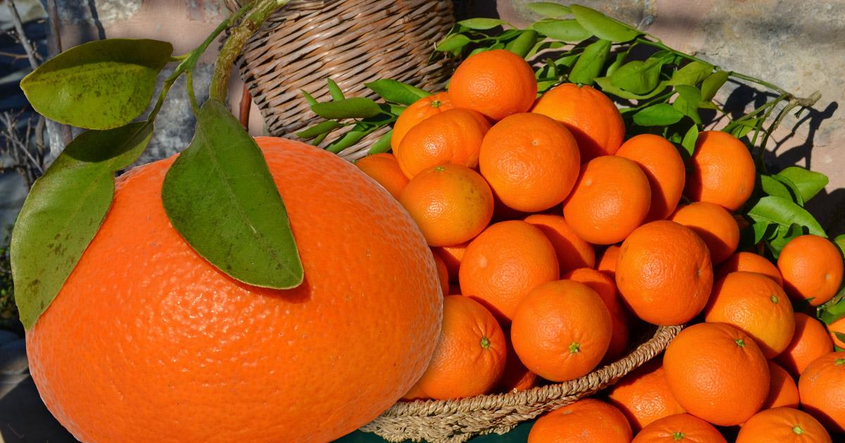Die Ortanique aus Mallorca - die Elegante mit Mandarinenaroma
