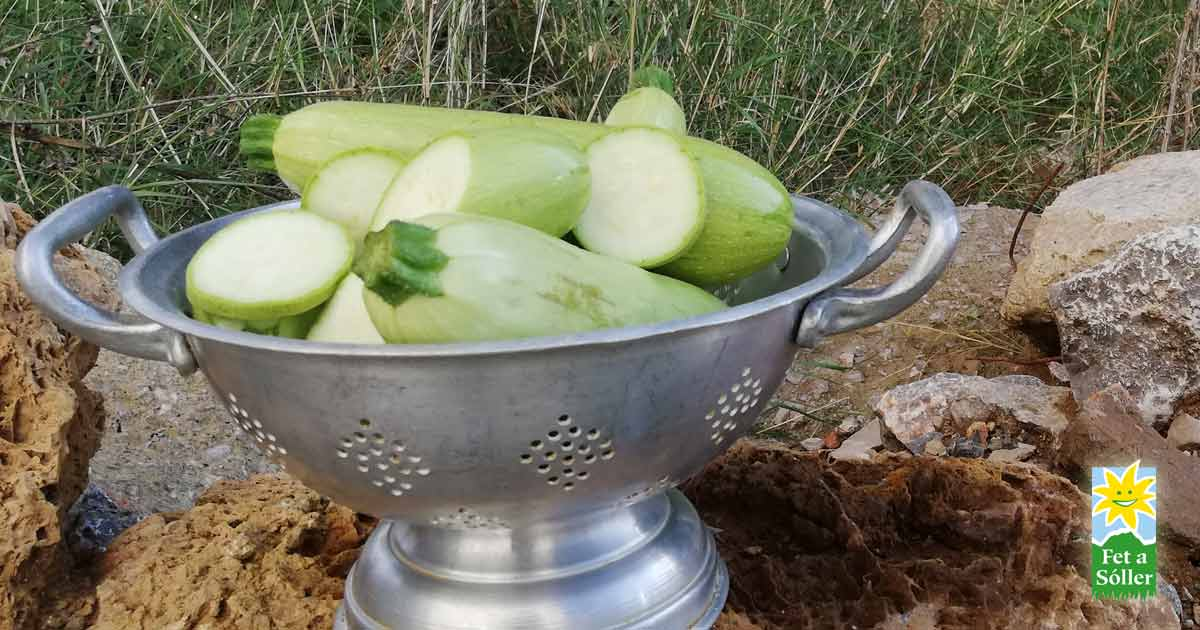 Calabacín - Zucchini