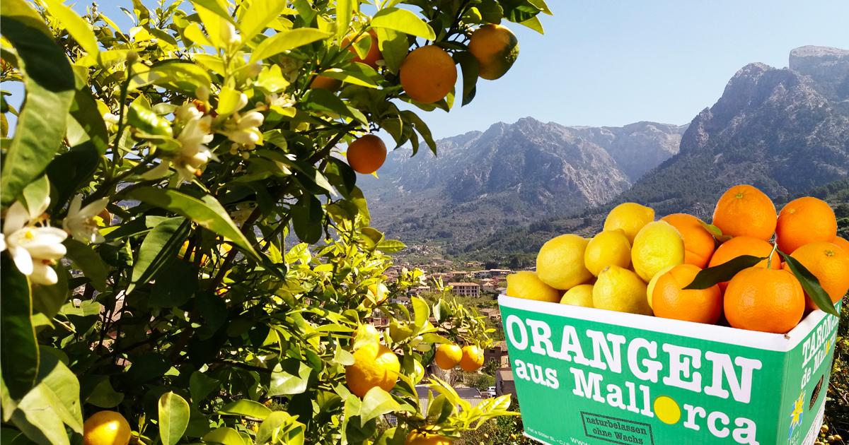 Frische Orangen und Zitronen von der Insel
