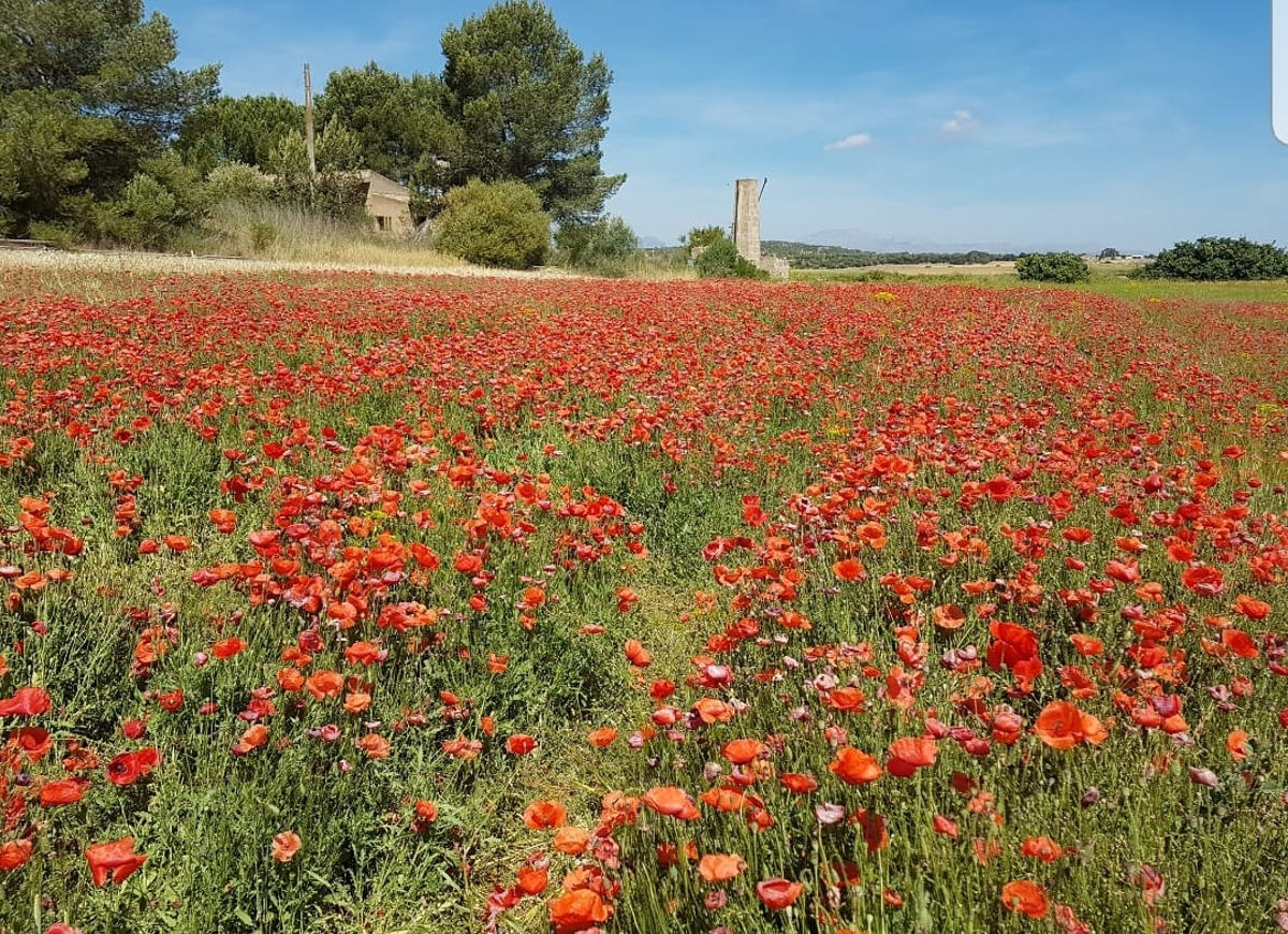 Mohnwiese auf Mallorca